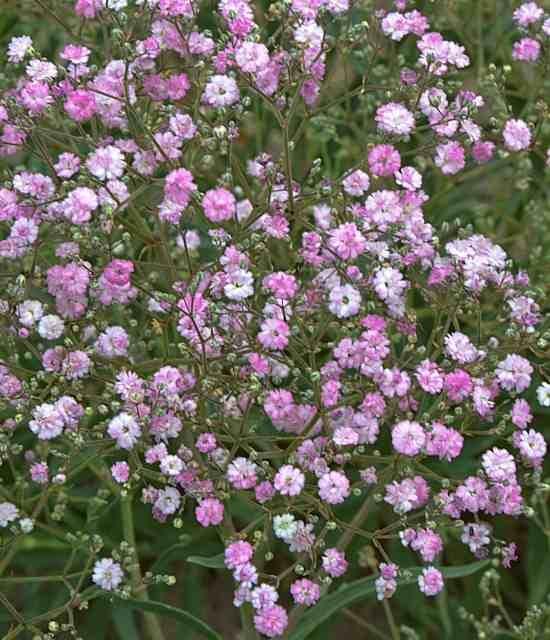 Gypsophila paniculata 'My Pink' photo courtesy of Walters Gardens