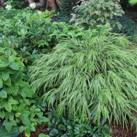 Hakonechloea 'Albo Striata' Suzanne Patry, Whitehouse Perennials