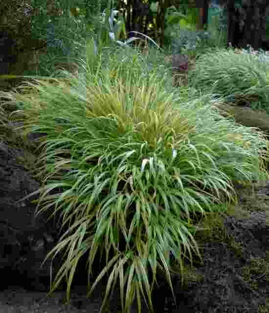 Hakonechloa macra Aureola photo courtesy of Walters Gardens