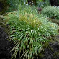 Hakonechloa macra Aureola photo courtesy of Walters Gardens