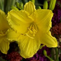 Daylily 'Happy Returns' Photo courtesy of Walters Gardens