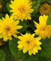 helianthus_happy_days_closeup.jpg
