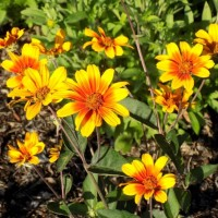 Heliopsis 'Burning Hearts'