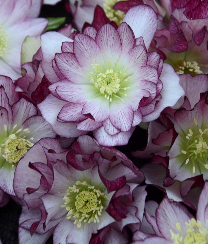 photo of Helleborus 'Blushing Bridesmaid' courtesy of Walters Gardens