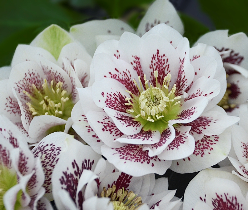 photo of Helleborus 'Confetti Cake' courtesy of Walters Gardens