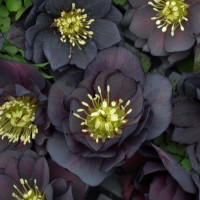 photo of Helleborus 'Dark and Handsome' courtesy of Walters Gardens