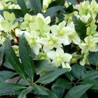 Helleborus 'Honeyhill Joy' photo courtesy of Terra Nova Nurseries
