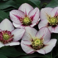 photo of Helleborus 'Pink Fizz' courtesy of Chris Hansen