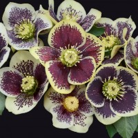 photo of Helleborus 'Rio Carnival' courtesy of Walters Gardens