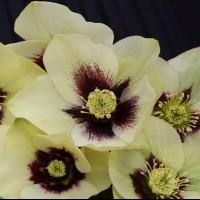 Helleborus 'Spanish Flare' photo courtesy of Walters Gardens