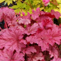 Heuchera 'Berry Smoothie' photo courtesy of Terranova Nursery