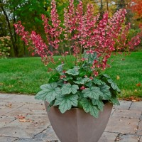 photo of Heuchera 'Berry Timeless' courtesy of Walters Gardens