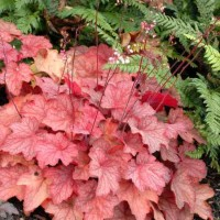 Heuchera 'Georgia Peach' courtesy of Walters Gardens