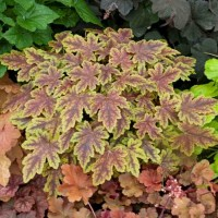Heucherella 'Thunderbird' photo courtesy of Walters Gardens