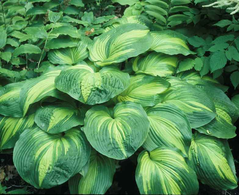 Hosta 'Hollywood Lights' Photo courtesy of Walters Gardens