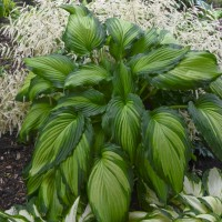 Photo of Hosta 'Angel Falls' courtesy of Walters Gardens