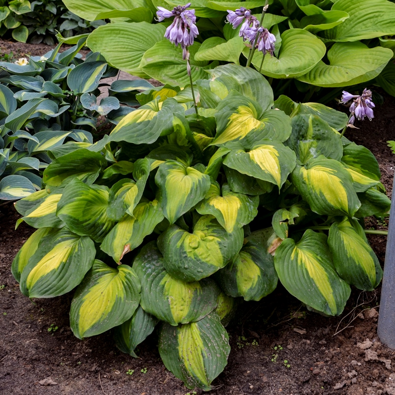 photo of Hosta 'Beyond Glory' courtesy of Walters Gardens