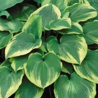 Hosta 'Robert Frost' photo courtesy of Walters Gardens