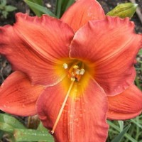 Daylily 'House of Orange' photo Whitehouse Perennials Nursery and Display Gardens