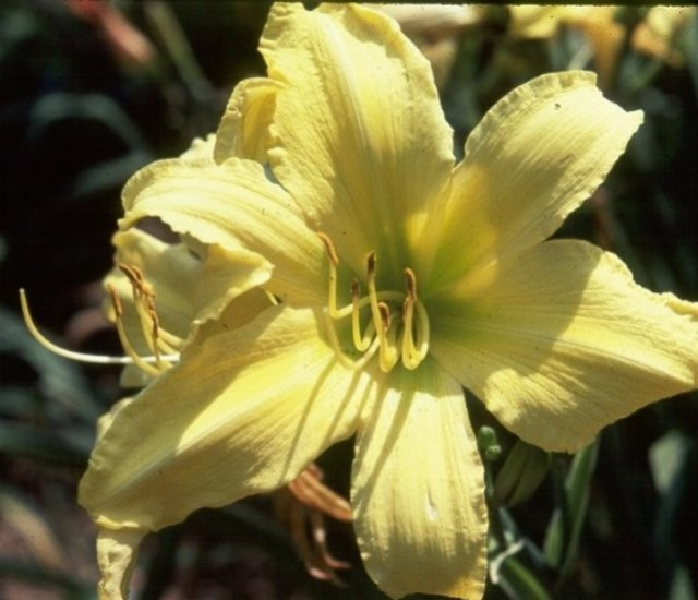 Daylily 'Hudson Valley' photo Whitehouse Perennials Nursery and Display Gardens