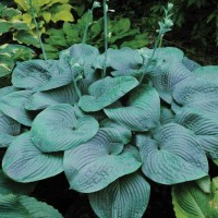 Hosta 'Humpback Whale' Photo courtesy of Walters Gardens