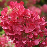 Hydrangea 'Rouge Diamond' photo courtesy of First Editions Plants