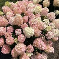 Hydrangea 'Firelight Tidbit' photo courtesy of Spring Meadow Nursery