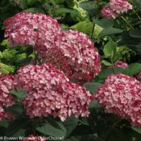 Hydrangea 'Invincible Ruby' photo courtesy of Proven Winners