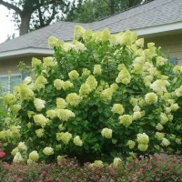 Hydrangea 'Limelight' photo courtesy of Spring Meadow Nursery