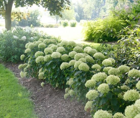 Hydrangea arborescens Invincibelle Limetta