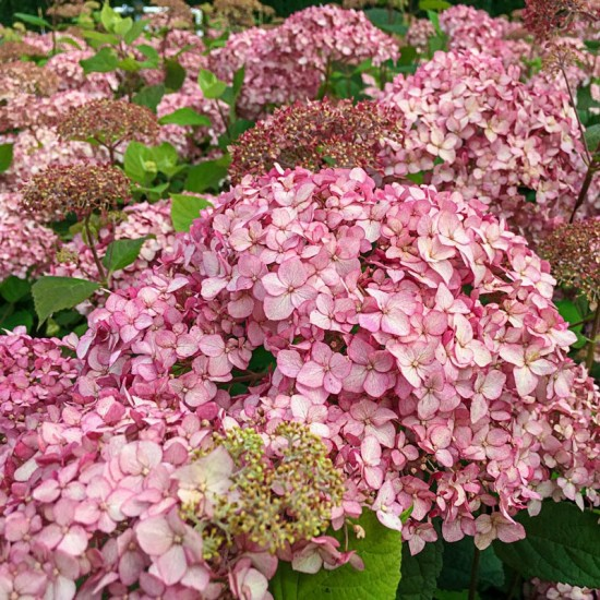Hydrangea arborescens 'Pinkerella'