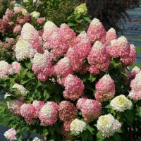 Hydrangea 'Quick Fire Fab' photo courtesy of Springmeadow Nursery
