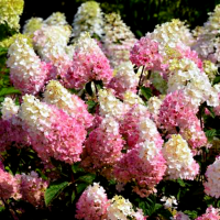 Hydrangea 'Strawberry Sundae' photo courtesy of First Editions Plants