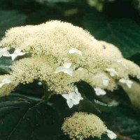 Hydrangea 'White Dome' Photo courtesy of Proven Winners