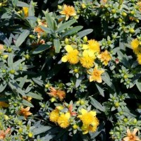 Hypericum 'Blues Festival'  photo courtesy of Proven Winners