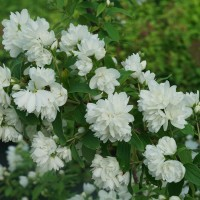 Philadelphus coronarius 'Illuminati Arch' photo courtesy of Spring Meadow Nursery