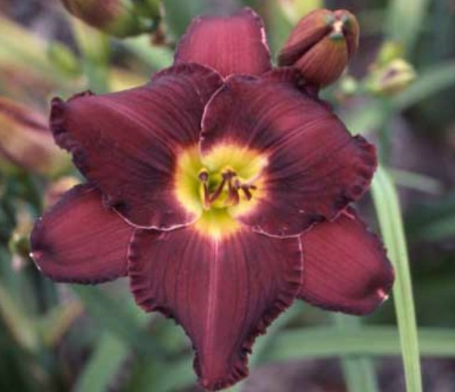 Daylily 'Imperial Conquest' photo Whitehouse Perennials Nursery and Display Gardens