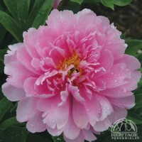 Peony 'Impossible Dream' photo courtesy of Valleybrook Gardens