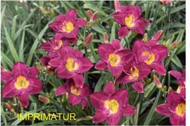 Daylily 'Imprimatur' photo Whitehouse Perennials Nursery and Display Gardens