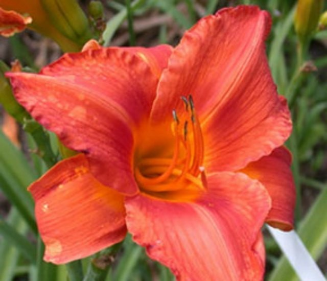 Daylily 'Indian Paint Brush' photo Whitehouse Perennials Nursery and Display Gardens