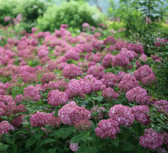 Hydrangea aborescens 'Mini Mauvette' photo courtesy of Proven Winners
