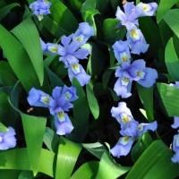Iris cristata photo Missouri Botanical Garden