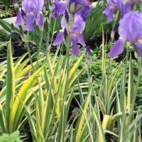 Iris pallida variegata photo Suzanne Patry
