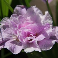 Iris 'Pink Parfait' photo Whitehouse Nursery and Display Gardens