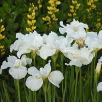 Iris 'Swans in Flight'  photo courtesy of Walters Gardens