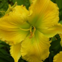 Daylily 'Isosceles' photo Whitehouse Perennials Nursery and Display Gardens