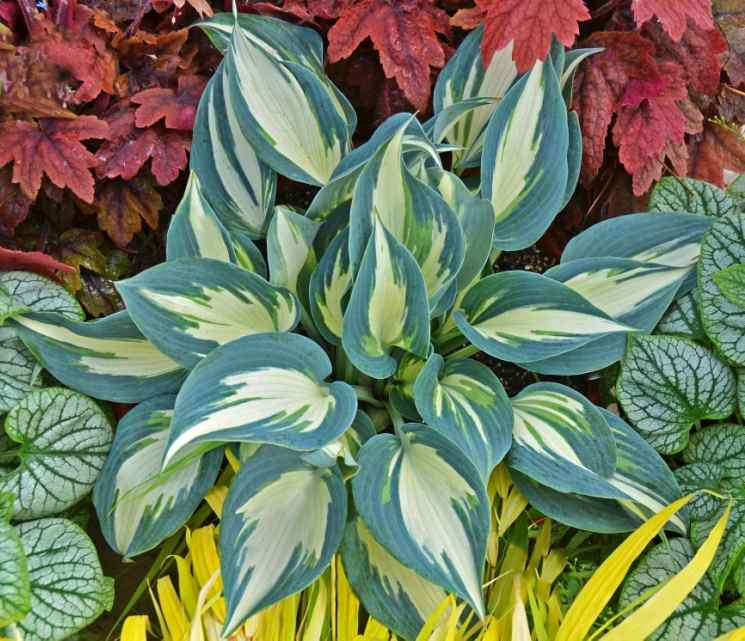 Hosta 'Ivory Queen' Photo courtesy of Walters Gardens