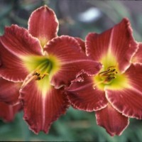 Daylily 'Jagged Edge' photo Whitehouse Perennials Nursery and Display Gardens