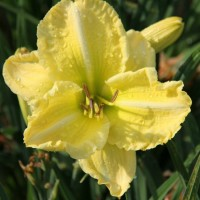 Daylily 'Jamye's Delight' photo Whitehouse Perennials Nursery and Display Gardens