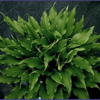 photo of Hosta 'Jaws' courtesy of Naylor Creek Nursery